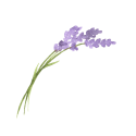 lavender8
