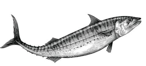 mackerel_vectorshock